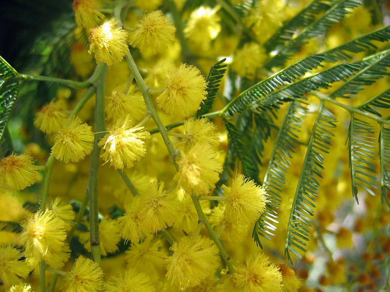 http://www.rantuu.fi/images/kukkia/mimosa2.jpg